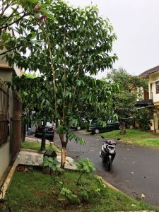 Pohon Kantil Rubuh 3