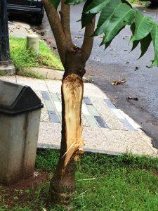 Pohon Kantil Rubuh 4